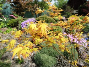 Acer-palmatum-Orange-Dream-300x225
