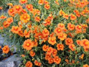 Helianthemum-Apricot-Queen-300x225