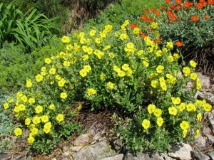 Helianthemum-Golden-Nuget-300x225