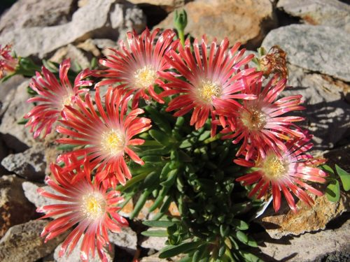 "Delosperma dyeri ""Red Mountain"""