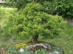 Čarovník-borovice-v-nádobe-300x225