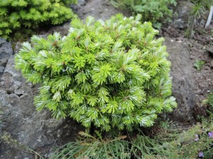 1-Abies-koreana-Wustemeyer-300x225