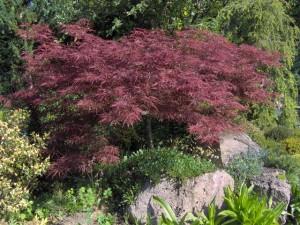 1-Acer-palmatum-Atropurpureum-Dissectum-300x225