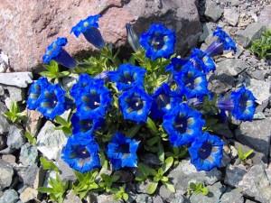 1-Gentiana-acaulis-Undulatifolia-300x225