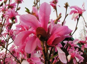 1-Magnolia-Leonard-Messel-300x220