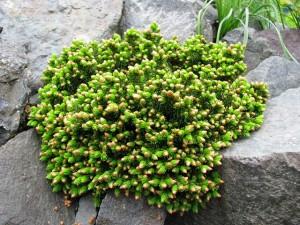 1-Picea-orientalis-Profesor-Langer-v-období-pučania-300x225