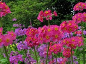 1-Primula-bulleyana-subsp.-beesiana-300x225