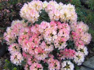 1-Rhododendron-Lachs-Gold-300x225