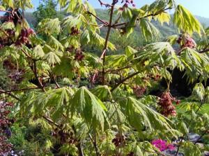 Acer-japonicum-Aconitifolium-300x225