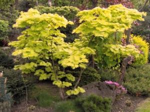 Acer-japonicum-Aureum-300x225