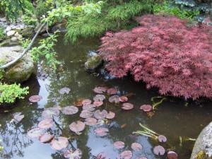 Acer-palmatum-Atropurpureum-Dissectu-nad-hladinou-jazierka-300x225