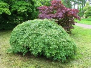 Acer-palmatum-Dissectum-300x225