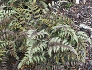 Athyrium-niponicum-Pictum-300x229