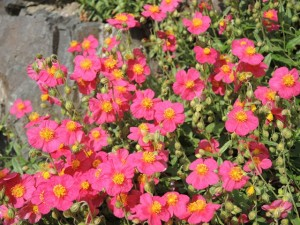 Helianthemum-Red-Orient-300x225