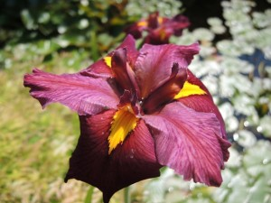 Iris-lousiana-Jack-Attack-300x225