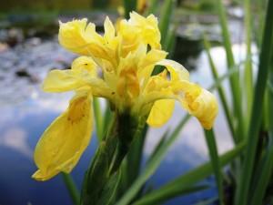 Iris-pseudacorus-Flore-Pleno-300x225