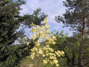 Magnolia-Elizabeth-300x225