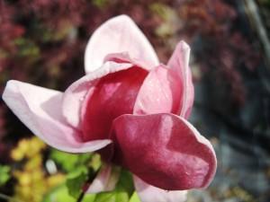 Magnolia-Genie-300x225