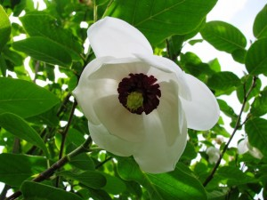 Magnolia-Sieboldii-300x225