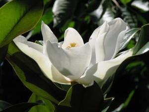 Magnolia-grandiflora-300x225