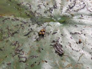 Nepohyblivé-kukly-chrobáíka-Galerucella-nymphaea-300x225