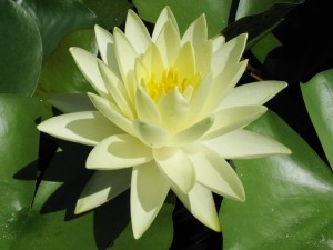 Nymphaea-Gold-Medal-2-300x225