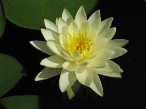 Nymphaea-Gold-Medal-300x225