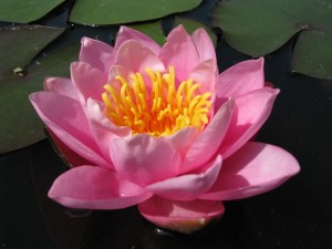 Nymphaea-Norma-Gedye-300x225