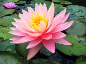 Nymphaea-Sunny-Pink-300x225