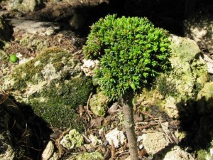 Picea-abies-Cukrák-300x225