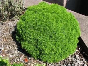 Picea-glauca-Alberta-Globe-300x225