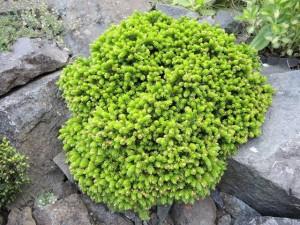 Picea-orientalis-Profesor-Langer-300x225