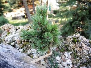 Pinus-aristata-Silber-Dog-300x225