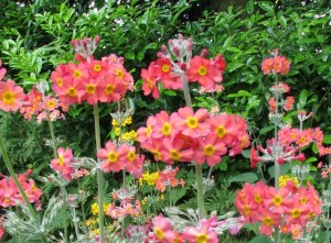 Primula-Rowallane-Rose-300x221