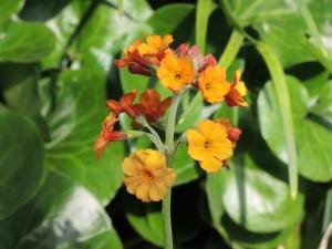 Primula-bulleyana-300x225
