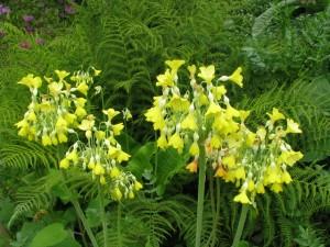 Primula-florindae-300x225