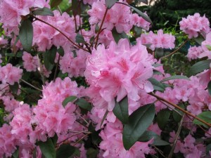 Rhododendron-Aglo-2-300x225