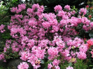 Rhododendron-Aglo-300x225