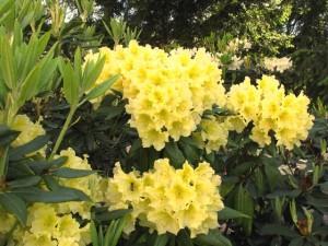 Rhododendron-Capistrano-300x225