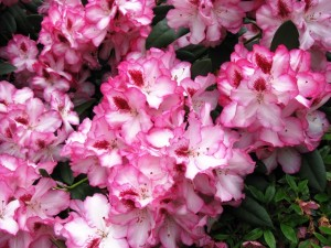 Rhododendron-Hachman´s-Charmant-300x225