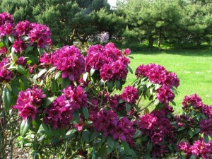 Rhododendron-Polar-Nacht-300x225