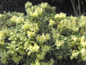 Rhododendron-Shamrock-300x225