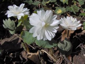 Sanguinaria-canadensis-Flore-Pleno-300x225