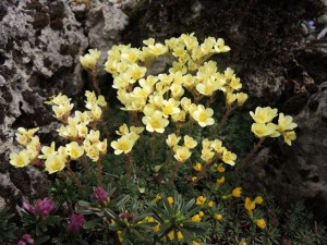 Saxifraga-Yellow-Rock-300x225
