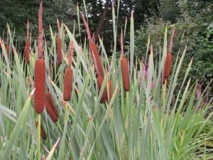 Typha-latifolia-300x225