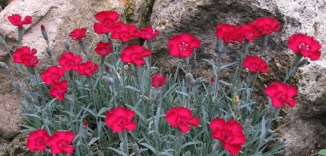 Dianthus gratianopolitanus ´Rubín´