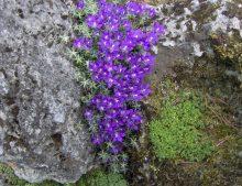Edraianthus pumilio from Biokovo