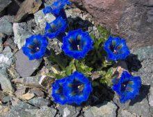 """Gentiana acaulis """"Undulatifolia"""" - horec bezbyľový """"Undulatifolia"""""""
