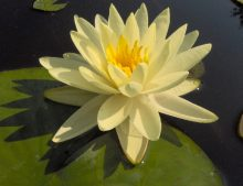 """Nymphaea """"Gold Medal"""""""