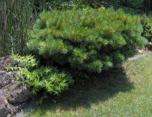 """Pinus strobus """"Nana"""""""